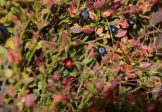 Czerwonego i Czarnego lasu jagody r w lesie na krzakach pod promieniami s?o?ce obrazy royalty free
