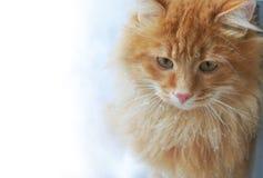Czerwonego imbiru kot w śnieżnym zakończeniu zdjęcie stock