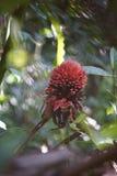 Czerwonego imbiru leluja Fotografia Stock