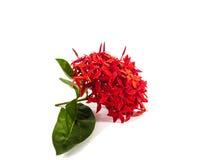 Czerwonego ixora boczny widok Fotografia Stock