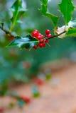 Czerwonego jagodowego osetu wierzchołka lub emaila chodnikowa realistyczni powitania Zdjęcie Royalty Free