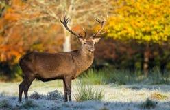 Czerwonego jelenia jesieni jeleni mroźny ranek Zdjęcie Stock