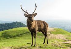 Czerwonego jelenia Jelenia pozycja na górze Obrazy Royalty Free