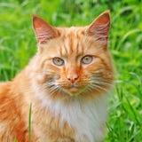 Czerwonego koloru koty Zdjęcie Stock