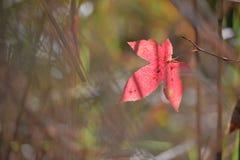 Czerwonego koloru liść klonowy podczas jesieni w południe Japan Zdjęcia Royalty Free