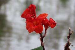 Czerwonego koloru piękny kwiat w naturze zdjęcia stock