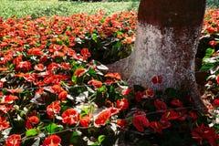 Czerwonego koloru poślubnika kwiatu roślina Obraz Stock