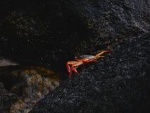 czerwonego kraba Fotografia Stock