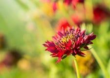 Czerwonego kwiatu makro- zakończenie up w ogródzie Zdjęcia Royalty Free