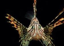 Czerwonego Lionfish Nadwodny zwierzę zdjęcia royalty free