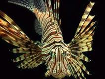 Czerwonego Lionfish Nadwodny zwierzę zdjęcie stock