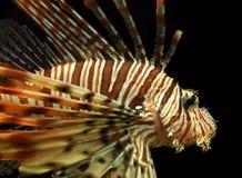 Czerwonego Lionfish Nadwodny zwierzę zdjęcia stock