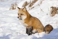 Czerwonego lisa obsiadanie w śniegu Fotografia Royalty Free
