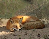 Czerwonego lisa odpoczywać Fotografia Stock