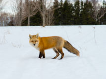 Czerwonego lisa polowanie Zdjęcia Stock