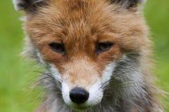 Czerwonego lisa twarz Obraz Stock