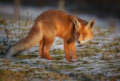 Czerwonego lisa wieczór łuna Fotografia Stock