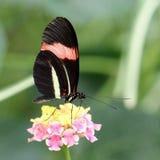 Czerwonego listonosza Heliconius erato motyli cyrbia Fotografia Stock