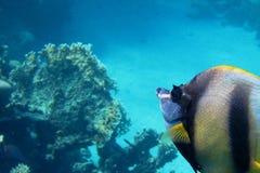 Czerwonego morza banderki ryba w Czerwonego morza ampule Fotografia Stock