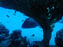 Czerwonego morza Grouper Obraz Stock