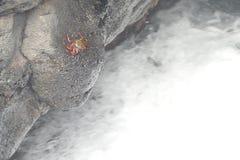 Czerwonego morza krab Zdjęcie Royalty Free