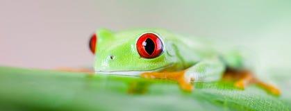 Czerwonego oka drzewna żaba na liściu na kolorowym tle fotografia stock
