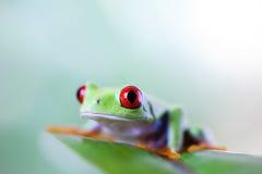 Czerwonego oka drzewna żaba na liściu na kolorowym tle zdjęcie stock
