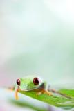 Czerwonego oka drzewna żaba na liściu na kolorowym tle obrazy stock