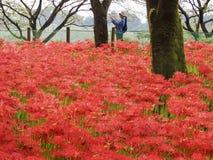Czerwonego pająka leluja w Japonia zdjęcia royalty free