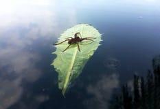 Czerwonego pająka podróżnik z wody kroplą na zielonym liściu przy lak Obrazy Stock