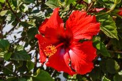 Czerwonego poślubnika kwiatu mokry deszcz po deszczu przechodził Obraz Stock