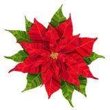 Czerwonego poinsecja kwiatu realistyczna wektorowa ilustracja Obrazy Royalty Free