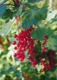 Czerwonego rodzynku jagody na gałąź Fotografia Stock