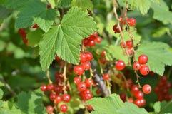 Czerwonego rodzynku jagody na gałąź Fotografia Royalty Free