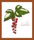 Czerwonego rodzynku koloru wektoru ilustracja Fotografia Royalty Free