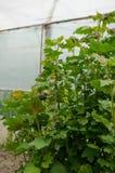 Czerwonego rodzynku roślina Obraz Stock