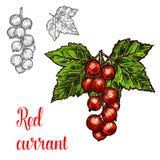 Czerwonego rodzynku wektorowego nakreślenia owocowa jagodowa ikona Obrazy Royalty Free