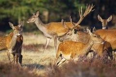 Czerwonego rogacza cervus elaphus jelenia cyzelatorstwo robi podczas rutting sezonu fotografia stock