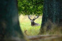 Czerwonego rogacza jeleń, bellow majestatycznego potężnego dorosłego zwierzęcia na zewnątrz jesień lasu, chującego w drzewach, du Obrazy Stock