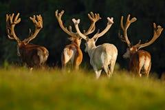 Czerwonego rogacza jeleń, bellow majestatycznego potężnego dorosłego zwierzęcia na zewnątrz jesień lasu, duży zwierzę w natury la Zdjęcia Stock