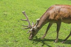 Czerwonego rogacza jeleń - Cervus Elaphus zdjęcie stock