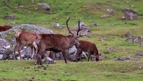 Czerwonego rogacza jeleń, Cervus elaphus podczas rutting sezonu z jego haremem wśród cairngorms NP, Scotland zbiory wideo