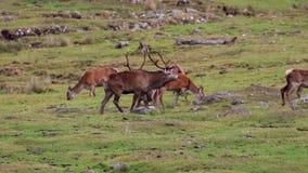 Czerwonego rogacza jeleń, Cervus elaphus podczas rutting sezonu z jego haremem wśród cairngorms NP, Scotland zbiory