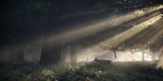 Czerwonego rogacza jeleń iluminujący oszałamiająco słońcem promienieje przez lasu l zdjęcia stock