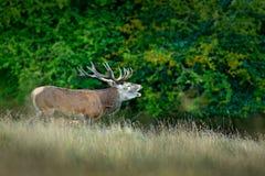 Czerwonego rogacza jeleń, majestatyczny potężny dorosły zwierzę na zewnątrz jesieni lasowego Dużego zwierzęcia w natury lasowym s fotografia stock