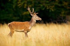 Czerwonego rogacza jeleń, majestatyczny potężny dorosły zwierzę na zewnątrz jesieni lasowego Dużego zwierzęcia w natury lasowym s obraz stock