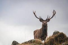 Czerwonego rogacza jeleń na wzrosta stać dumny zdjęcia royalty free