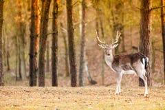 Czerwonego rogacza jeleń w jesień spadku lesie zdjęcia stock