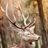 Czerwonego rogacza jeleń w jesień spadku lesie zdjęcie stock