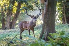 Czerwonego rogacza jeleń w jesieni bekowisku fotografia stock